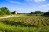Vine shoots in spring-Vineyard south west of France, Bordeaux Vi