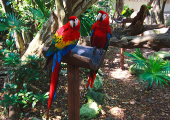 The couple of colorful parrots macaws in Xcaret park Mexico