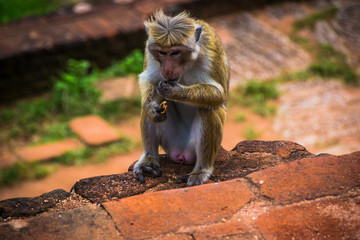 monkey sitting in Sigiriya and eats, Sri Lanka