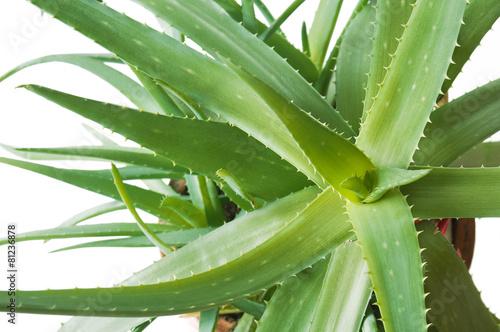Fotobehang Cactus Aloe vera plant isolated on white background