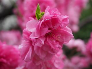 花桃と新芽