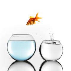 Gold fish jumping to bigger bowl