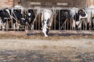 Mucche da latte pezzate bianco e nero