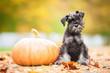 Miniature schnauzer puppy with a pumpkin in autumn - 81239878