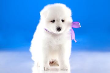 Image of puppy Samoyed breed