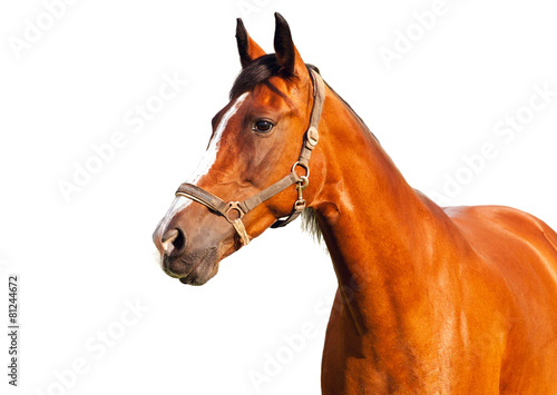 Foto op Canvas Paarden Portrait of bay horse on a white background
