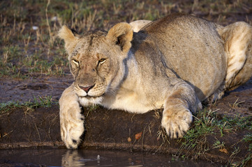 Lionees drinking water in the Masai Mara National Park