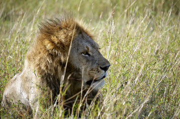 Leon, sitting in the Masai Mara park nartural (Africa)