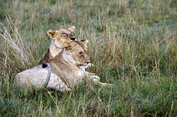 Lionesses resting in the Masai Mara Nature Reserve (Africa)