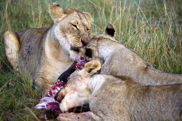 Lioness eating a wildebeest in the Masai Mara park nartural