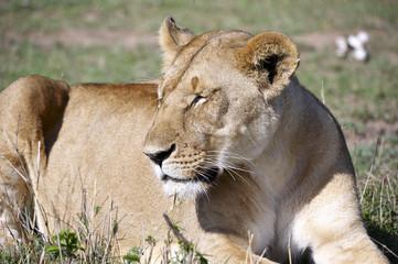 Leone, lying on the Masai Mara