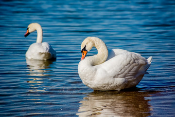 Swans and seagulls on the sea