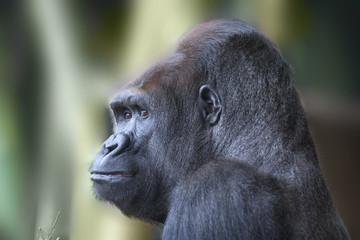 Side portrait of african wild ape gorilla