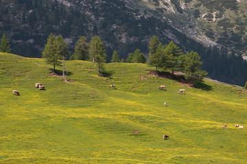 mucche al pascolo a Prato Piazza - Val Pusteria