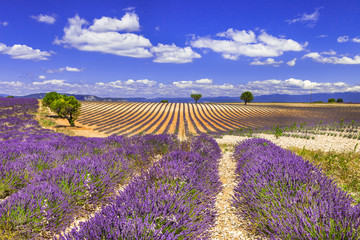 violet rows of blooming lavander in Provence