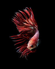 Red crowntail betta fish