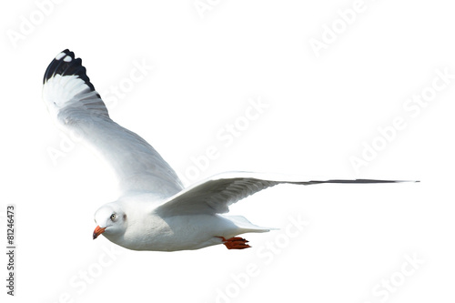 Seagull isolated on white - 81246473