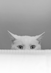 White cat hiding behind the bed.