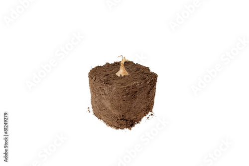 Bulb growing in dirt with a white background