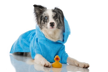 Hund im Bademantel