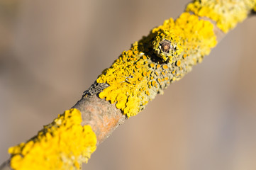 Yellow moss on a tree branch