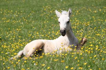 Poulain Quarter Horse en liberté