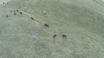 Aerial view. Flying over a herd of cows in the pasture