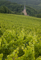 Vineyards in Alsace. Andlau.France
