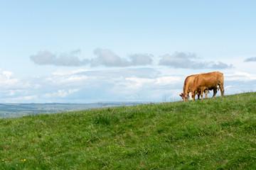 Irland-weidende Kühe