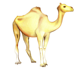 One-humped camel on a white background.