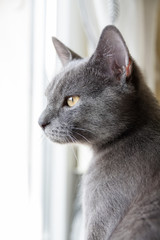 Grey cat looking out of the window