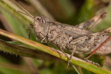 Gray grasshoper macro