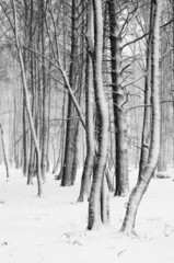 Snow covered tree trunks close-up