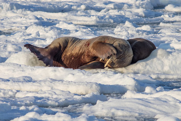 Couple of walruses on the ice - Arctic, Spitsbergen