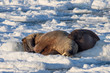 Couple of walruses in the Arctic - Svalbard, Spitabergen