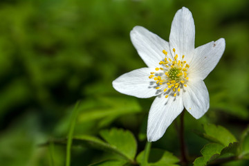 wood anemone, closeup of the blossom, copy space