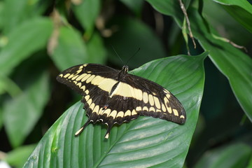 Giant Swallowtail butterfly shows its colors.