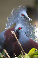 New Guinea victoria crowned pigeon (Goura victoria)