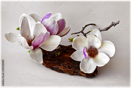 Spring background with magnolia flowers on white background.
