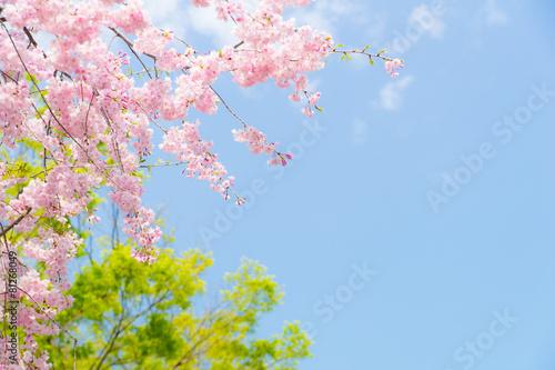 Fotobehang Kersen 満開の八重紅枝垂と青空