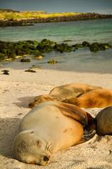 Cute sea lions sleeping in La Loberia beach, San Cristobal