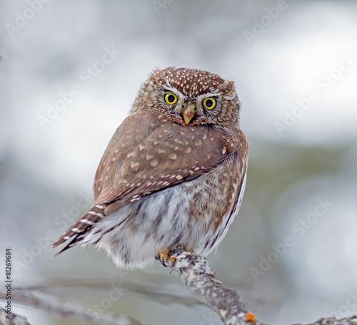 Aluminium Uil Northern Pygmy-Owl