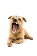 口を開けた犬