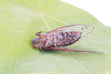 cicada insect isolated on leaf
