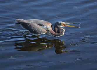 Tricolored heron catching a fish.