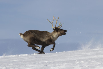 Reindeer which runs on snow-covered tundra Bering Island