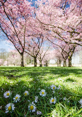 Springtime: Japanese cherry blossoms and daisies :)