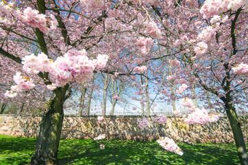 Frühlingserwachen: Japanische Kirschblüten vor alter Mauer :)