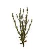 Ascophyllum - 81276876