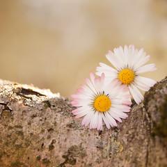 Gänseblümchen auf einem Ast